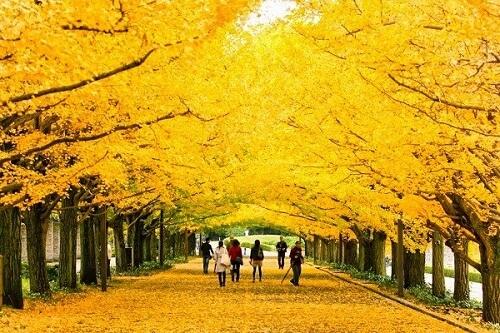 cây rẻ quạt- biểu tượng của Tokyo