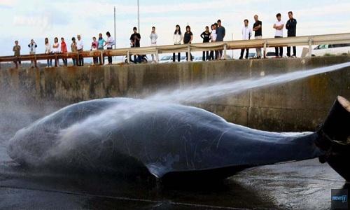 Bản tin tổng hợp Nhật Bản tuần 13: Nhật bản săn bắt 333 con cá voi