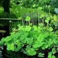 cỏ 4 lá may mắn ở Nhật Bản