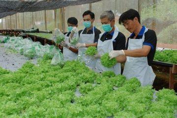Tuyển 01 nữ trồng rau tại Oita Nhật Bản phỏng vấn 5/2016