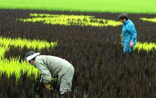 Tanbo Nhật Bản - Nghệ thuật trên cánh đồng lúa ở Nhật