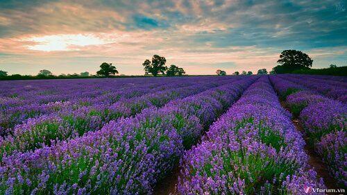 Ngắm hoa oải hương ở Nhật Bản (Lavender)
