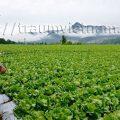 Trồng xà lách thu nhập 25 triệu yên mỗi năm ở Nhật Bản