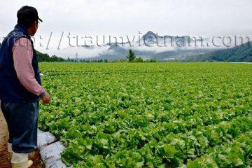 Làng Kawakami trồng xà lách thu nhập 25 triệu yên mỗi năm ở Nhật Bản