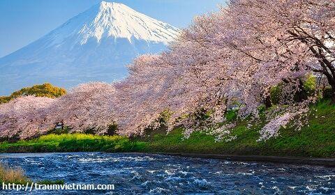 Tỉnh Shizuoka Nhật Bản - rừng vàng biển bạc