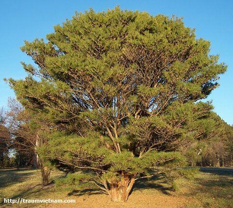 Cây thông đỏ Nhật Bản - loài cây của vùng Yamaguchi