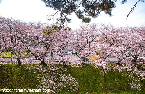 Ngắm hoa anh đào ở Nagoya vào mùa xuân