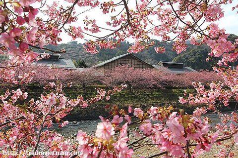 Hoa anh đào ở Shizuoka Nhật Bản