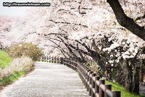 1000 cây anh đào ởAkagi Nanmen