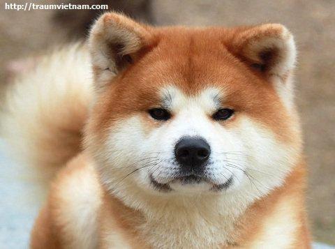 Giống chó nổi tiếng ở Akita Nhật Bản