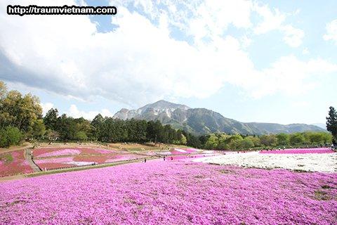 Công viên Hitsujiyama ở Chichibu (hoa chi anh)
