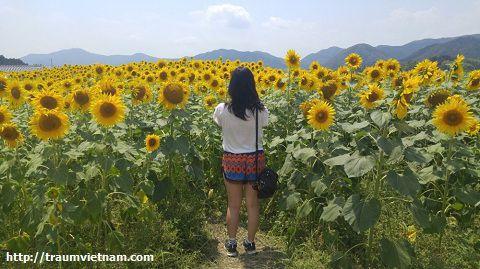 Đồi hoa hướng dương tỉnh Miyagi Nhật Bản