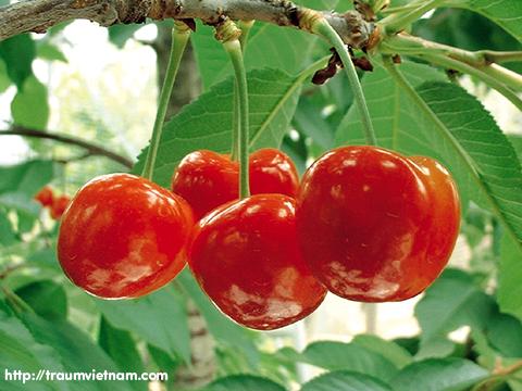 Cherry Yamagata