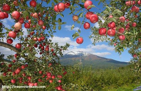 Tỉnh Aomori Nhật Bản - quê hương của táo