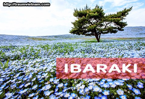 Tỉnh Ibaraki Nhật Bản - bốn mùa khoe sắc