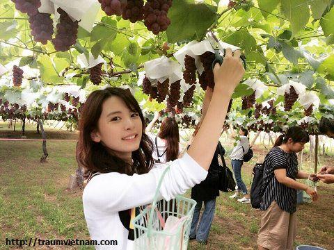 Vườn trái cây Satomi - tỉnh Yamanashi Nhật Bản